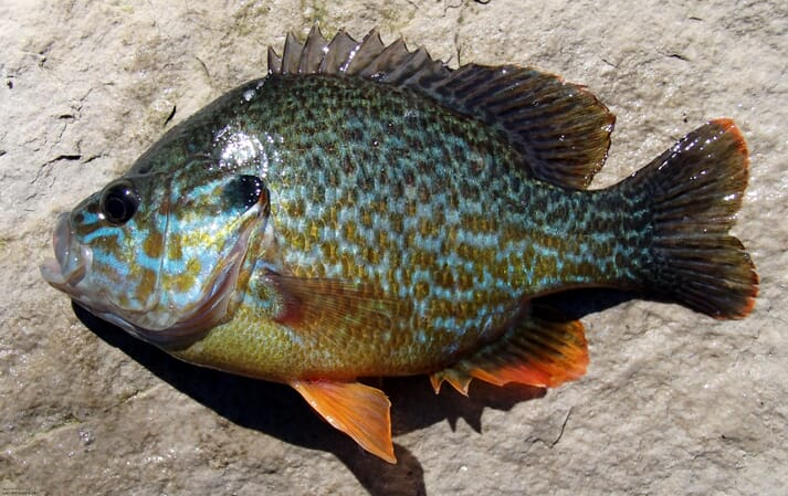 A hybrid North American sunfish