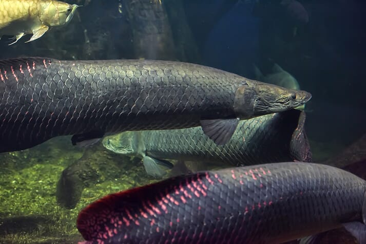 Arapaima are one of the largest freshwater fish in the world, reaching upward of 200 kg