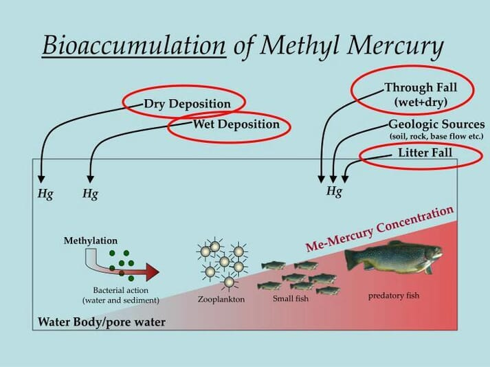 This graph shows how mercury enters into fish through bioaccumulation and then is cycled around through the water where it concentrates in the fish we are likely to eat. Although complex, the understanding of this process will prove to be important in understanding how modern day mercury poisoning can occur from eating seafood
