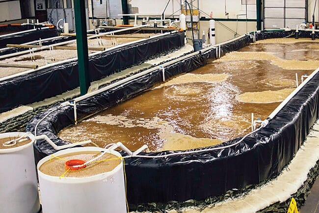 Florida Organic Aquaculture produced vannamei shrimp in biofloc raceways