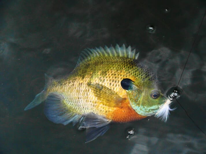 The study suggests the most sociable bluegill are more likely to be caught by anglers