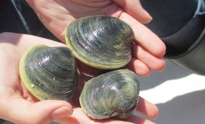 Atlantic clams