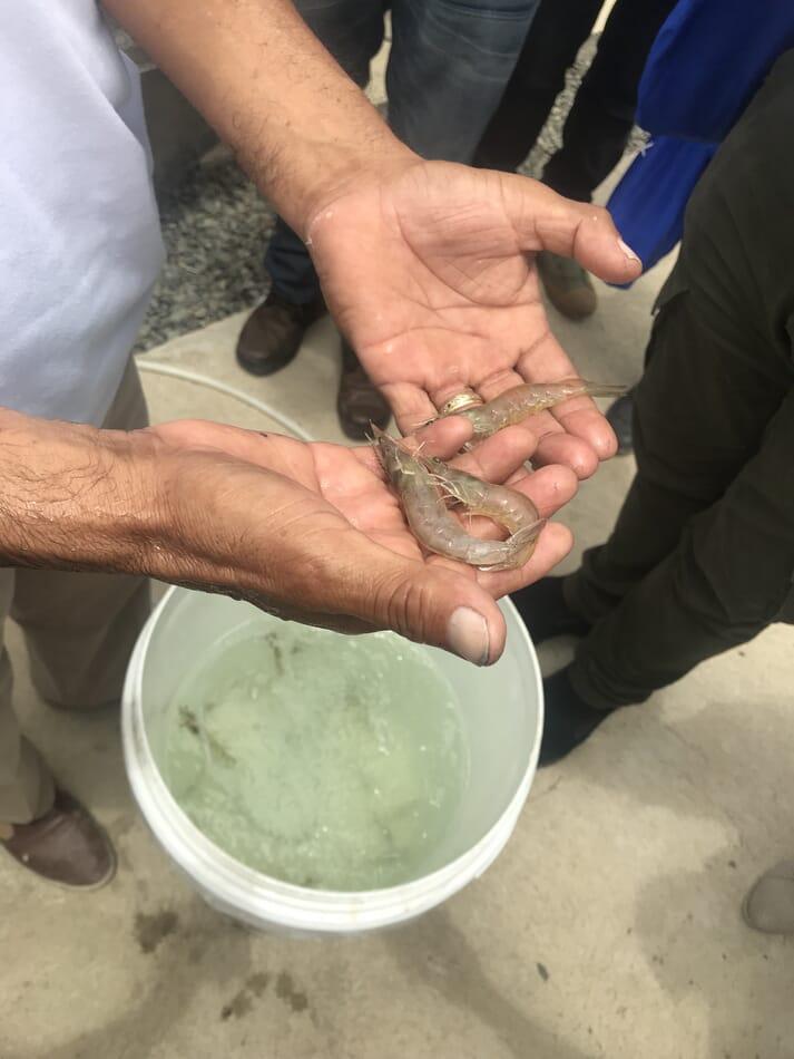 11 farms in Ecuador produce SSI-certified shrimp