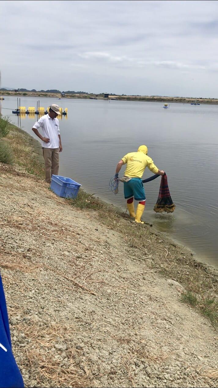 Netting a pond at the Samolnedo shrimp farm