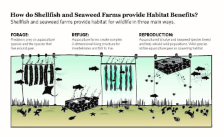How seaweed and shellfish provide habitat benefits (click on image to enlarge)