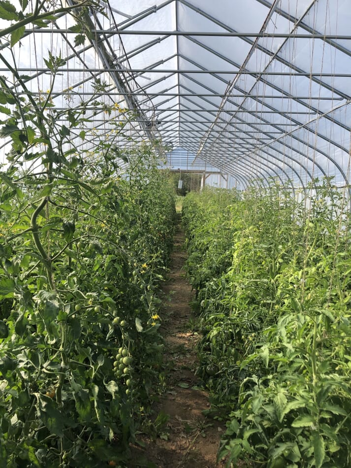 Waste from the fish farm is used to fertilise crops, including tomatoes