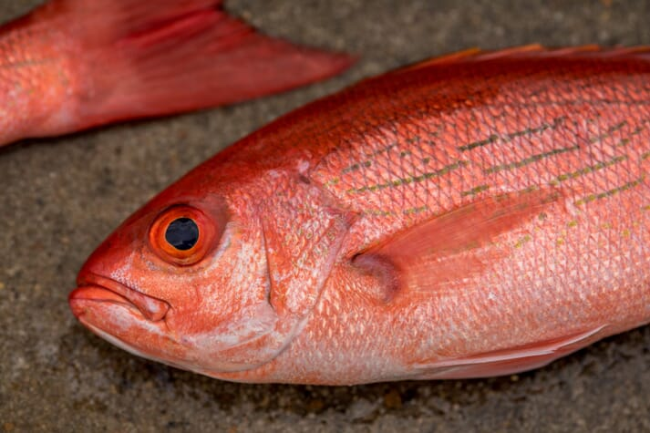 Red snapper are among the species cultures at the Gulf Coast Research Laboratory's Thad Cochran Marine Aquaculture Center (TCMAC)