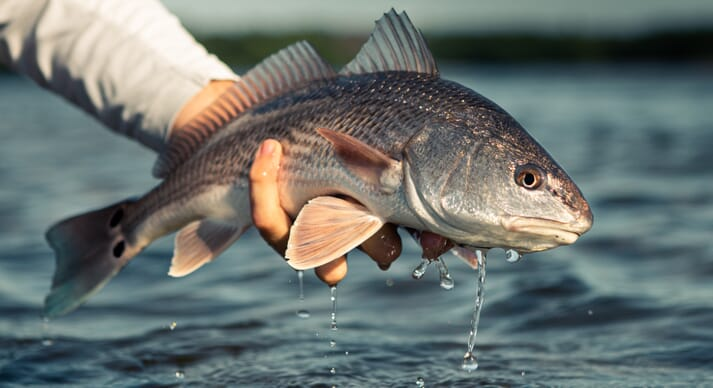 Red drum, widely known as redfish, are widely restocked due to their value to anglers