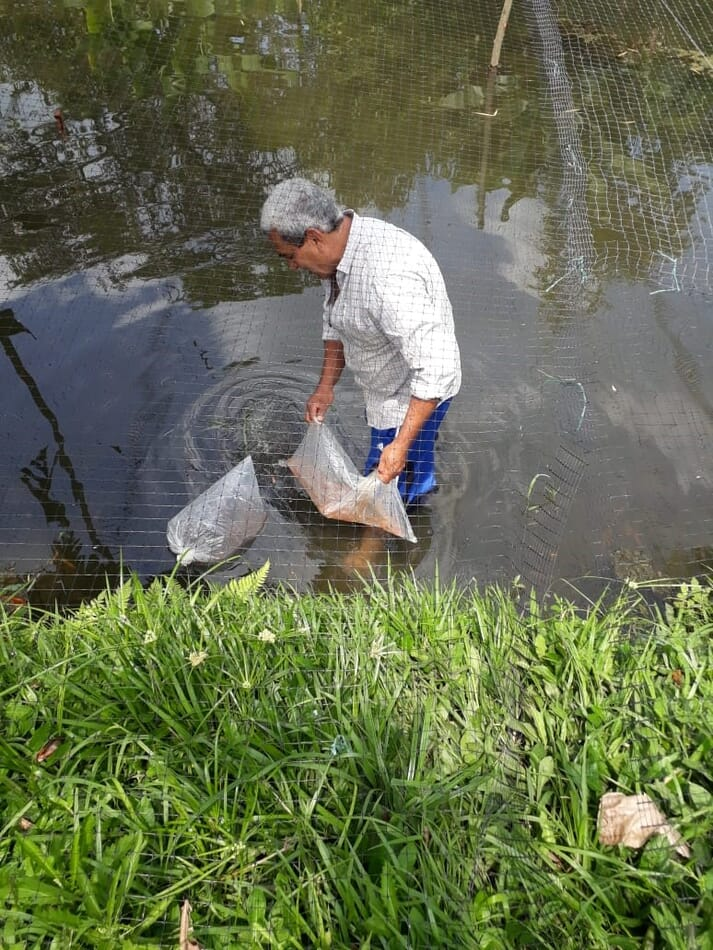 Stocking tilapia fry in the farm in La Florida, Colombia