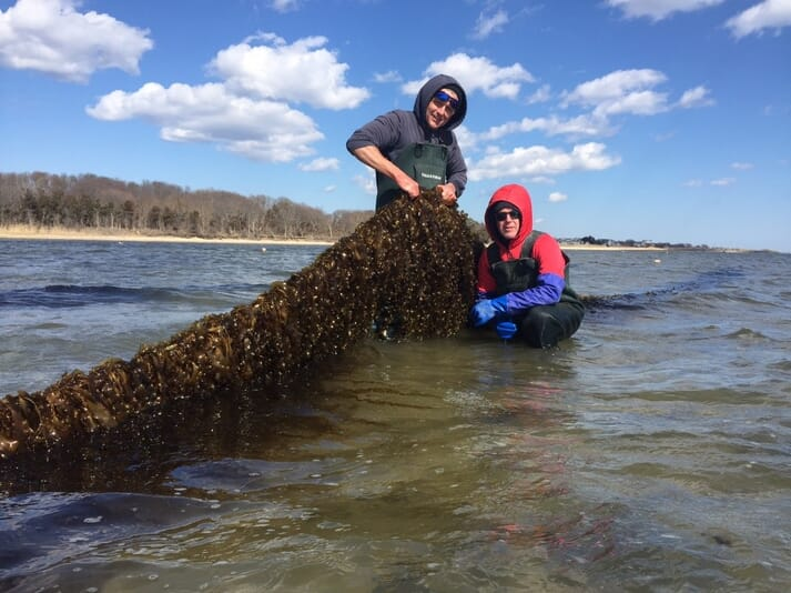 Stony Brook University scientist Mike Doall (left) and oyster farmer Paul McCormick with kelp grown on the Great Gun Oyster Farm this spring