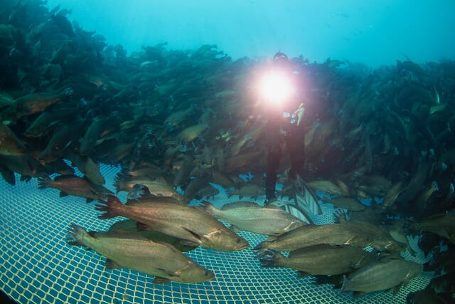 A diver inspects the nets at a site operated by Earth Ocean Farms