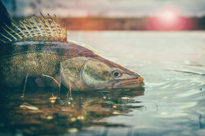Every year the Minnesota DNR's fish hatchery system produces over 300 million walleye hatchlings from wild-caught broodstock