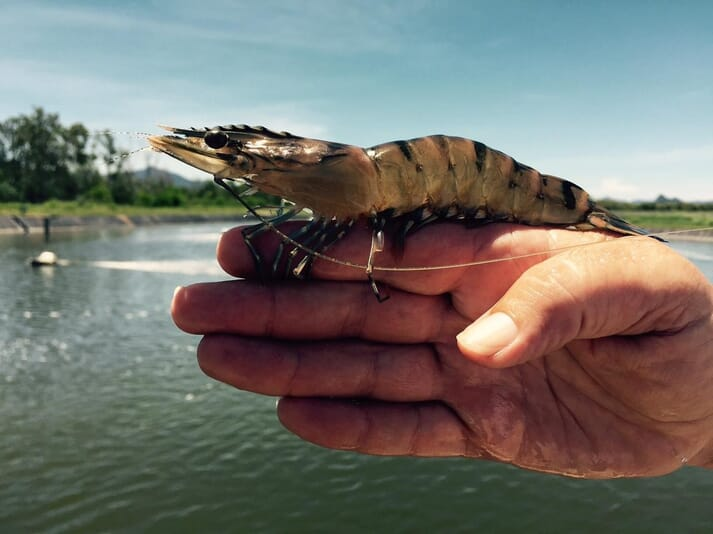 Seafarms is developing its own line of specific pathogen-free (SPF) tiger prawns