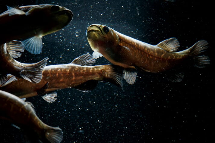 The whitebait that's caught locally in New Zealand are the juveniles of five native galaxiid species