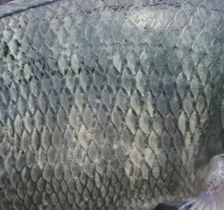 Tilapia skin has huge potential for biomedical purposes, including treating burns