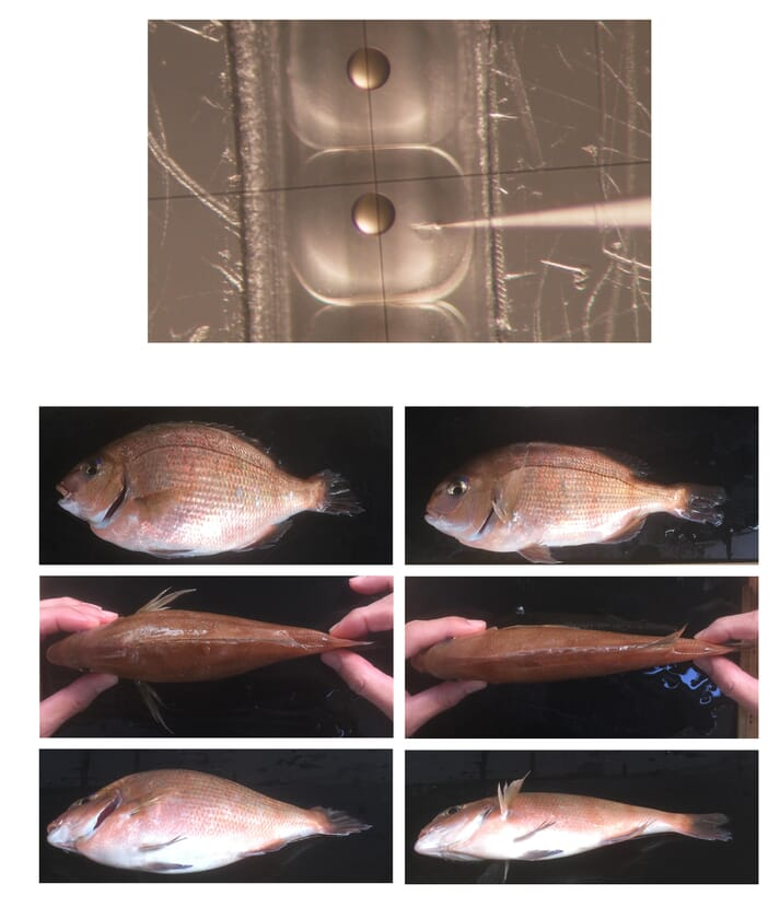 Japanese researchers reported in 2018 on the use of CRISPR techniques for the development of a line of red sea bream with enhanced muscle mass and a relatively short overall body length