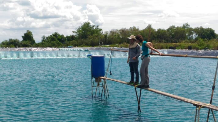 Bioflocs allow shrimp farmers to double their production per hectare