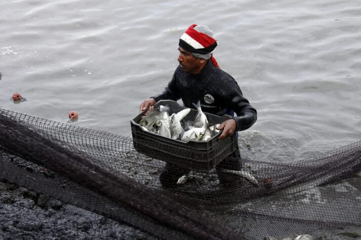 A fish farmer wading through a pond with a basket of freshly-harvested fish