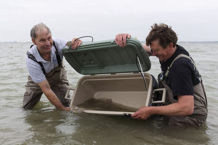 Michael Laterveer releasing a hatchery raised ray into the North Sea