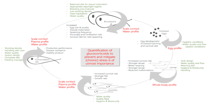 Figure 2. Diagram of the fish production cycle, indicating major management practices (in green), the tissues used to quantify glucocorticoids by the Stress Physiology Research Group (StressChron) (in red) and some of the positive effects encountered after stress mitigation through effective management strategies throughout the complete production cycle (in blue)