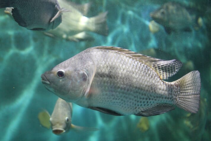 Nile tilapia swimming in clear water