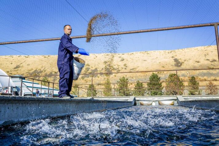 Fish farm technician throwing aquafeed into an outdoor fish pen