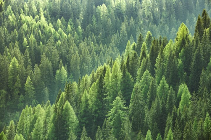A pine forest as seen from the air