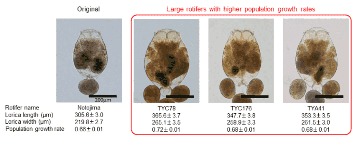 Use of a heavy ion beam irradiation was shown to increase rotifer size by 20 percent
