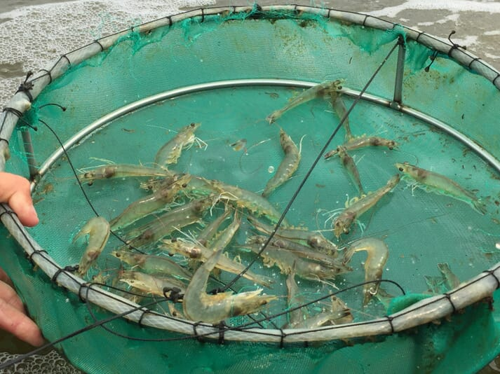 The global whiteleg shrimp sector is worth $26.7 billion a year