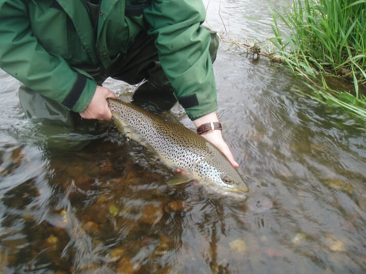 PKD affects freshwater fish, including brown trout (pictured) - both in the wild and in aquaculture