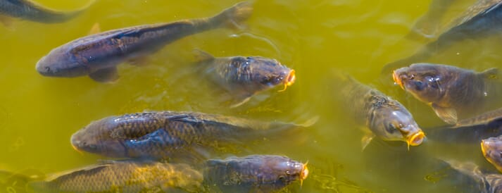 A group of common carp