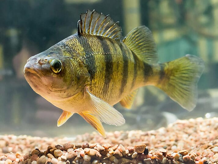 Yellow perch are a highly prized food fish in the US