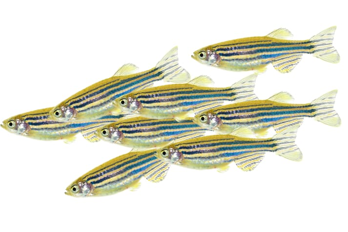 Zebrafish are regularly used in medical research because they share 70 percent of human genes and many of the same physiological features as us. They are also lower maintenance than mammals such as mice