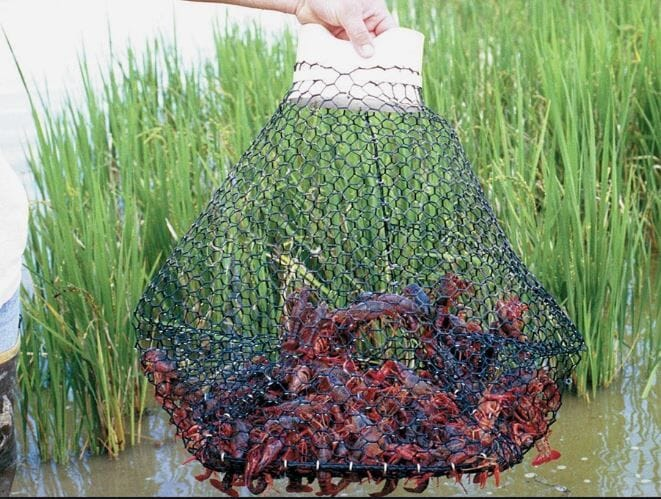 Researchers are looking into a more automated way of harvesting crawfish