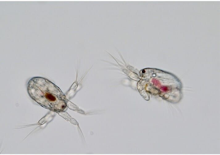 Picture of newly-hatched nauplii, a type of copepod used to feed juvenile marine finfish