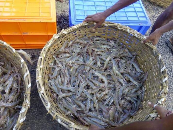 Large wicker basket holding live shrimp