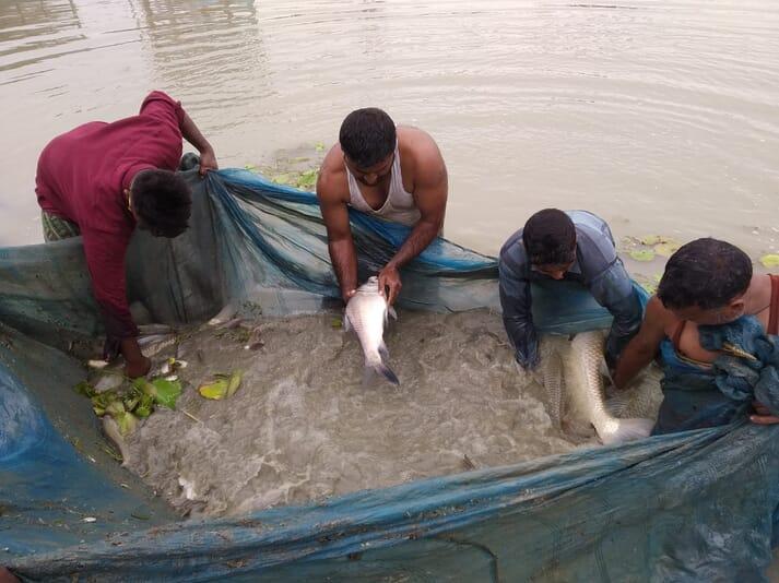 Harvesting Indian major carp in Assam