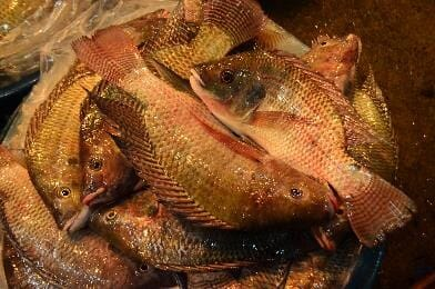 Though one of the most popular and useful food fish, Nile tilapia (Oreochromis niloticus) have spread to most of the world's tropical countries – providing extra protein for people but robbing other aquatic wildlife of resources