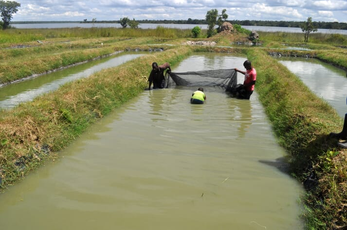 A typical small-scale tilapia farm in Zambia