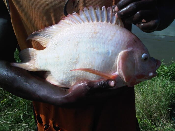 Person holding a red tilapia