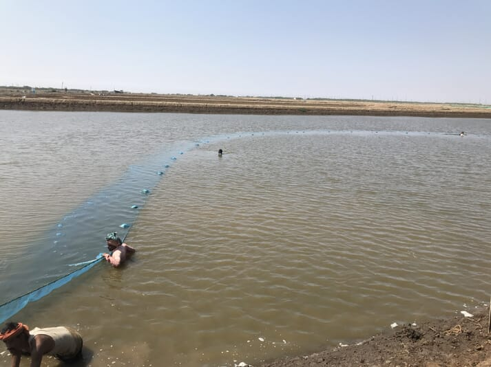 Workers standing in a large shrimp pond, pulling nets to the shore