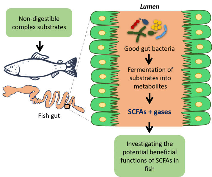 A graphic representation of the production of short-chain fatty acids (SCFAs) by the good microbes in the fish gut. Illustrated by Shruti Gupta. The good or commensal microbes which live in the fish gut, ferment the complex substrates from the feed and produce bacterial metabolites and gases. Microbiome scientists at Nofima are investigating the functional potential of major SCFAs in the fish gut and aim to produce a healthier fish