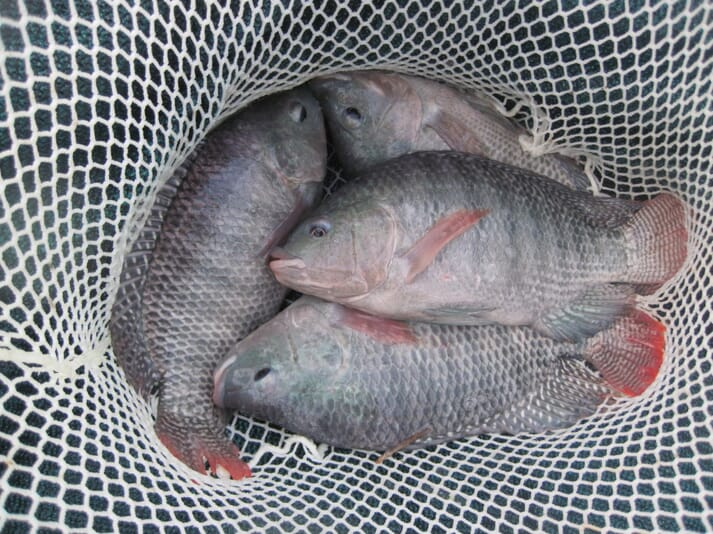 Tilapia are well suited to farming in conjunction with greens in aquaponic systems