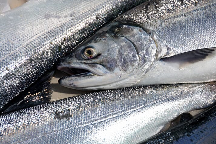 Coho salmon, which are native to the Pacific, are prized in sushi restaurants