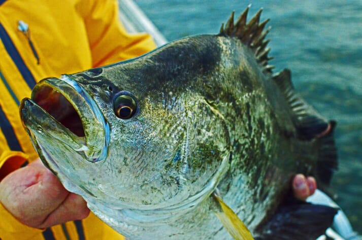 Person holding a wild-caught tripletail