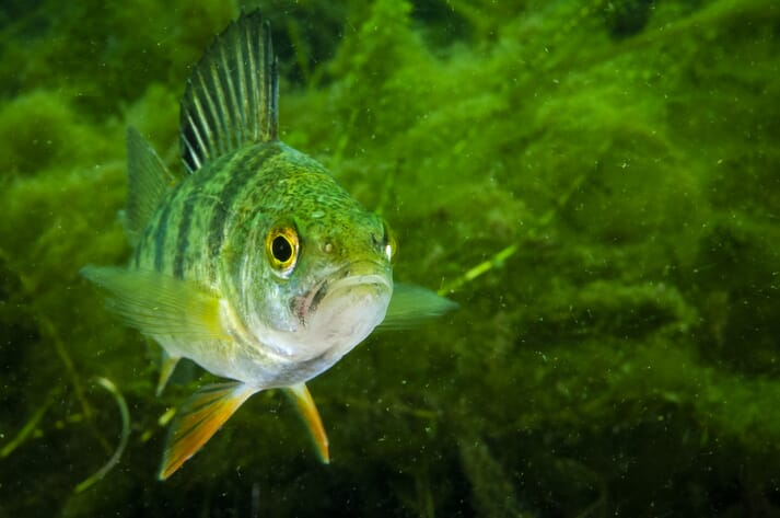 The yellow perch (Perca flavescens) is native to much of North America