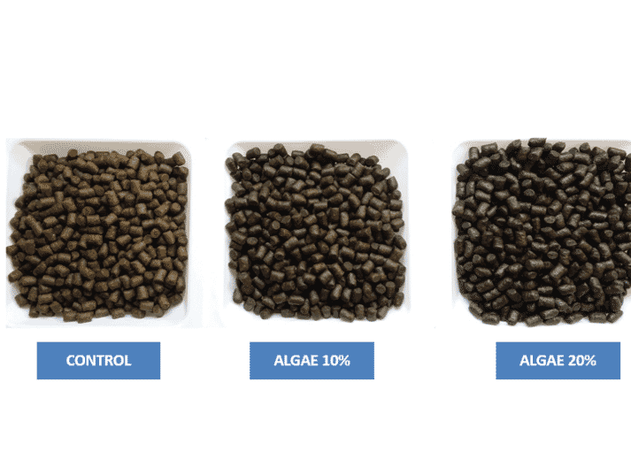 The trial used feeds containing 0,10 and 20 percent algae