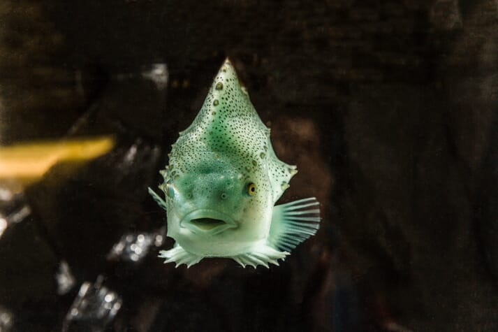 Despite being sociable, lumpfish need space to rest on the walls of the hatchery tanks