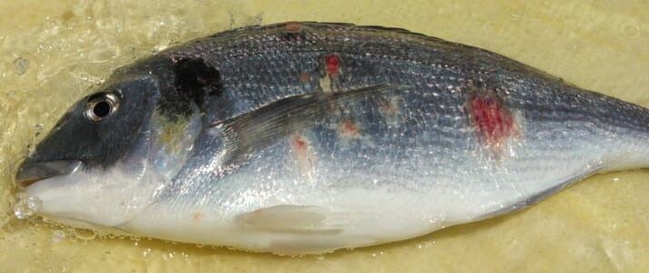 A future forum on rash syndrome in gilthead sea bream (Sparus aurata) is also being planned