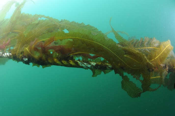The certification is a boost to rope-grown seaweed growers